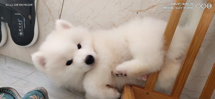 求大家收养小狗萨摩耶一只